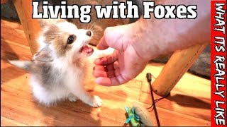 What its really like to live with foxes The good, the bad & the truth about having a pet fox
