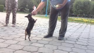 Дрессированные собаки,в Бишкеке,на южных воротах