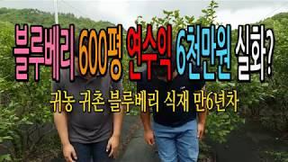 블루베리 600평 직거래 1년수익공개 귀농귀촌