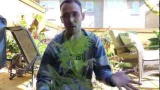 Jacaranda Seedling Update
