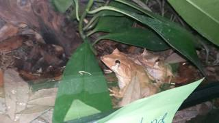 My First EVER NOCTURNAL TOUR!!!! Featuring my Viet Mossy Frogs, Crested Geckos, and sleeping geckos!