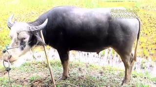 Kerbau Belang - Tedong Bonga Jenis Kerbau Belang Asal Mamasa | Termahal Di Dunia