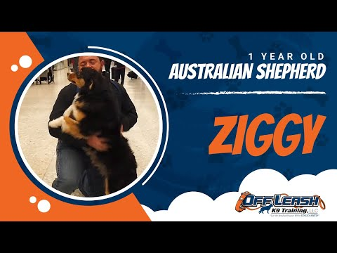 Australian Shepherd Ziggy | anxiety | obedience training | confidence building | Nova dog trainers