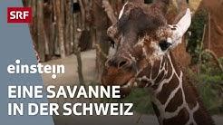 Corona-Krise im Zoo Zürich – Einblick in die neue Lewa-Savanne | SRF Einstein