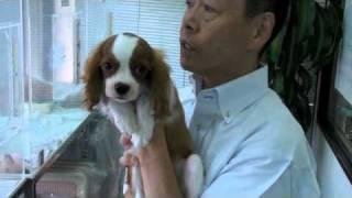 フレンチハイム 短毛 2010年4月24日神奈川生まれ (4ヶ月) 成犬時体...