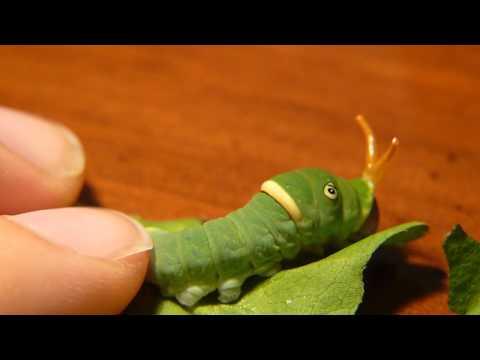 Tiger Swallowtail Caterpillar Defense
