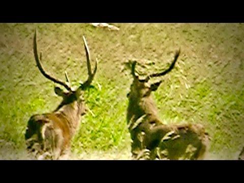 Hunting Rusa deer In New Caledonia part 54