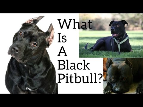 What Is A Black Pitbull??? **Please Dont Mind The Camera Angle**