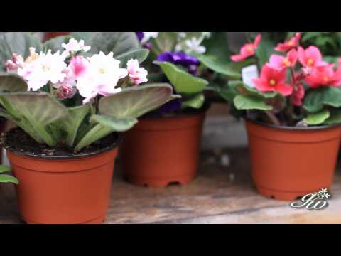 African Violet and Primrose  Two Beautiful Flowers to add to your garden