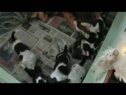 4 week old basset hound puppies playing