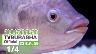 กบนอกกะลา : ปลานิล ปลาของพ่อ อาหารของโลก ช่วงที่ 1/4 (22 ธ.ค.59)