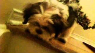 Shih Tzu Mix Poodle