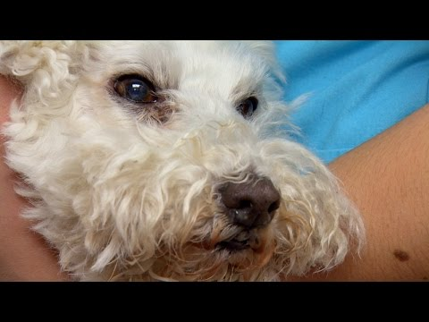 Bichon Frise Battles Dehydration and Incessant Vomiting