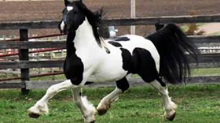 """Pinto Friesian Stallion """"ORCA"""""""