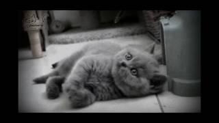 Британский котенок. Документальный фильм.