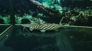Monster Fish Feeding 대형어 미꾸라지 …