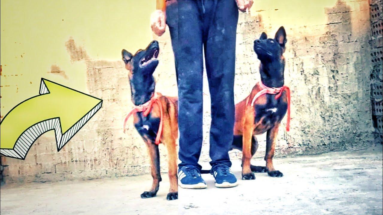 تعرف تدرب كلبك الامر ده ( ازاي كلبك يجلس على يمينك او يسارك بالامر )