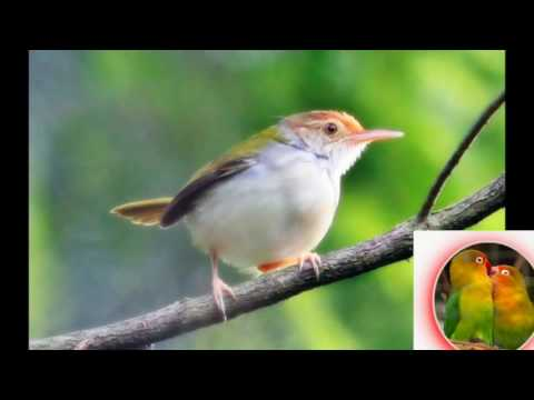 Suara Ocehan Burung CIBLEK untuk MASTERAN dan PANCINGAN durasi Lama High Quality