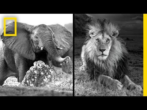 Michael Nichols: Photographing Africa's Wildest Beasts | Nat Geo Live