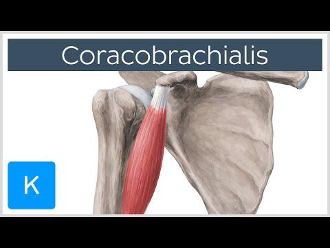 Coracobrachialis Muscle - Origin, Insertion & Innervation  - Human Anatomy |Kenhub