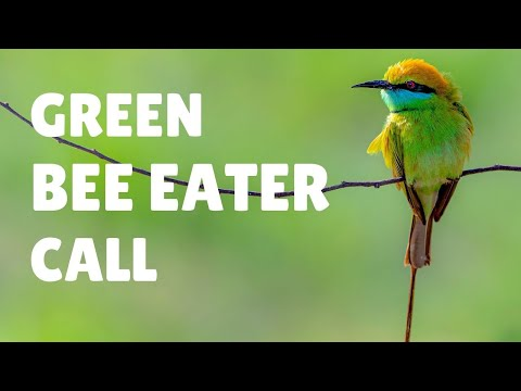 Green Bee Eater Call - Merops orientalis