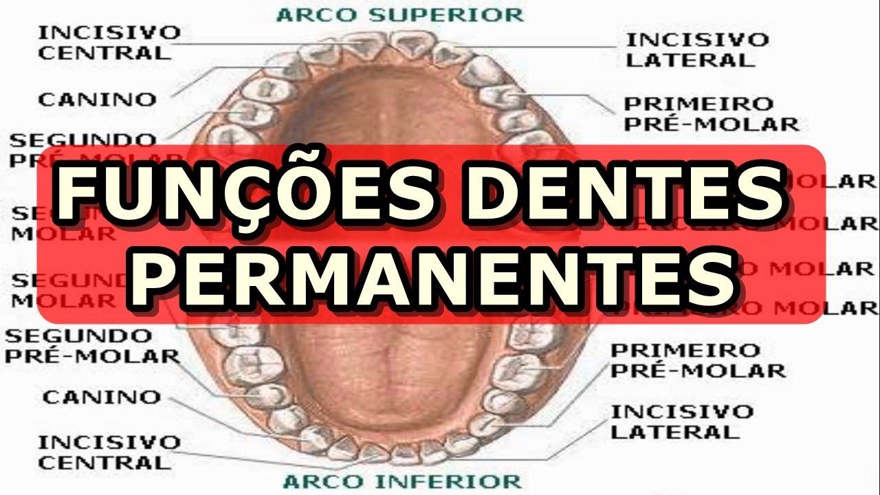 Dentes permanentes - Quais funções de cada um?