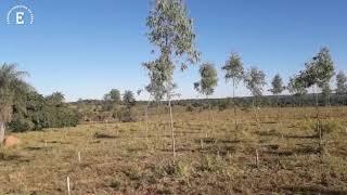 Plantio de angico-vermelho para produção de lenha  na Fazenda Cabeceira do Prata