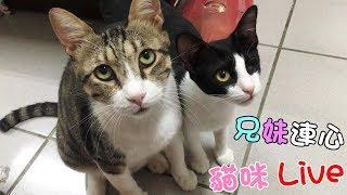 貓咪Live實況#117 兄妹連心!未來還有一位阿金❤ 20190616(汝汝杉杉與黑妞MiMi醬)