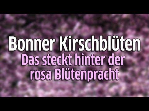 Bonner Kirschblüte:  Kirschbäume in der Altstadt sind Touristenattraktion