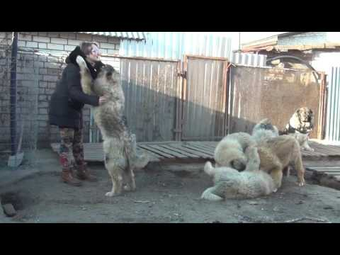 Puppies of the Caucasian Shepherd dog 6.5 months. Sell.