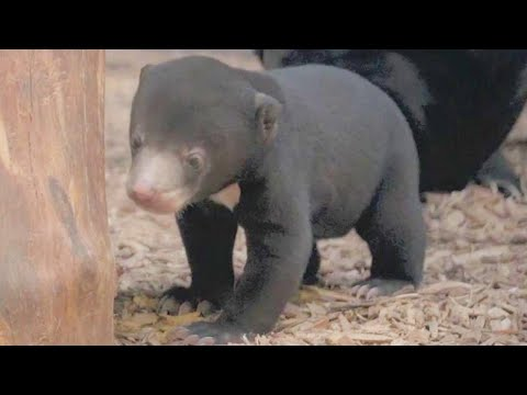 Adorable Sun Bear Cub Plays During Public Debut at Chester Zoo