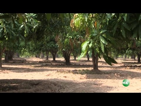 A Day In the Life of Mango Farmer