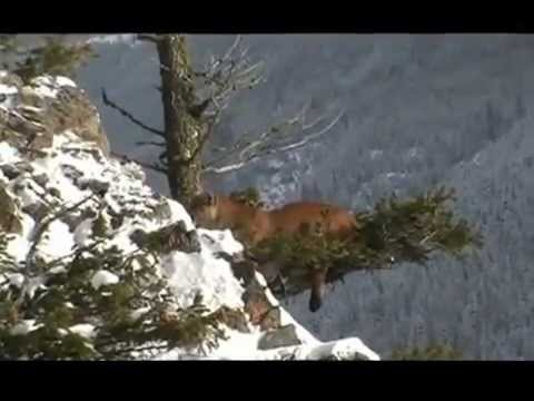 Cougar Hunt 2012 British Columbia.mp4