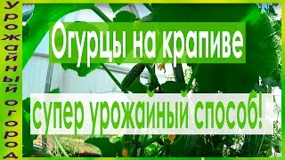 ►ОГУРЦЫ НА КРАПИВЕ - СУПЕР УРОЖАЙ!!!ФОРМИРОВКА,ПОДКОРМКИ,ПОЛИВ!