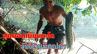 #เซียนจับปลาชะโดมือเปล่าแบบนี้เสียวแทน!?รอบนี้ สามตัวใหญ่ตัวละ 4 โล Cast Net Fishing