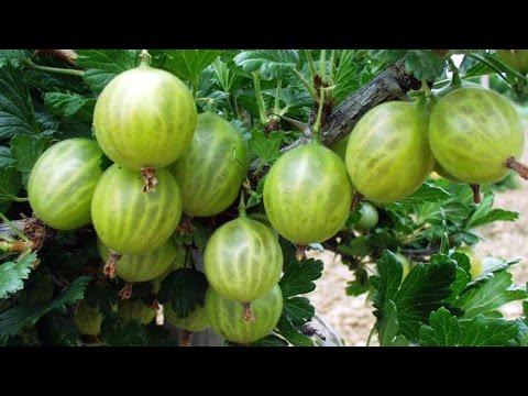 Защита крыжовника от болезней весной /Protection from disease gooseberry spring/