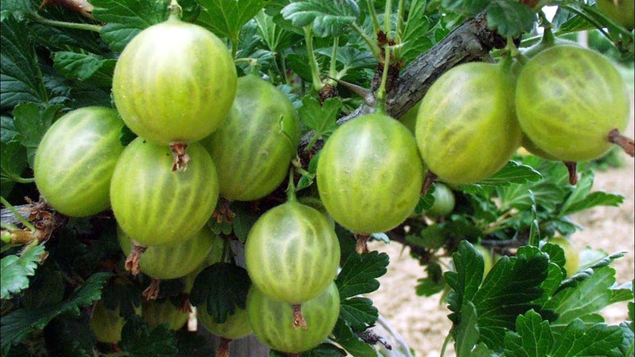 Весенняя обработка кустов смородины и крыжовника от болезней и вредителей