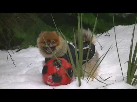 Very Cute Pomeranian Playing in Snow 'Cilla the Pom'