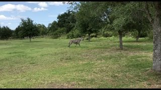 Zebra Runs Wild Across Backyard in Wimauma, Florida