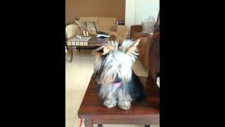 Darya -yorkshire Terrier,  Shake