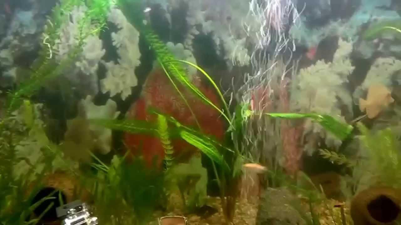 криптокорина в аквариуме