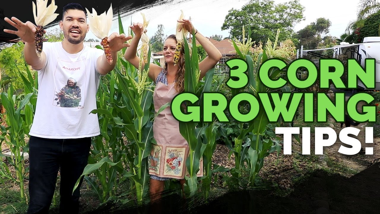 Download 3 Epic Tips For Growing Corn!