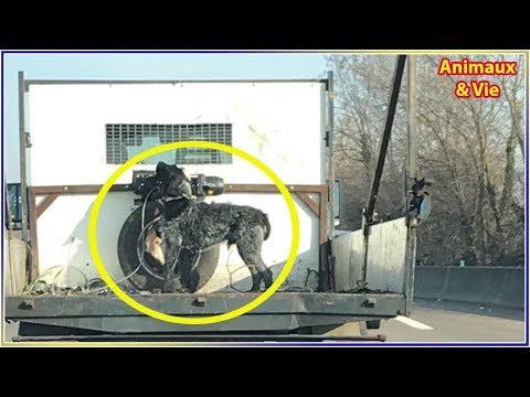 Un chien attaché à un camion sur l'autoroute fait scandale
