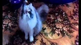 Кошки питомника bellnoise город курск
