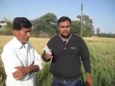100% Organic Farming Results in Wheat Crop At M.P. By Saanvi Organics