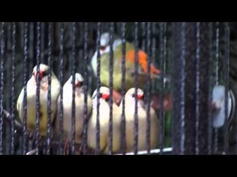 Yellow-bellied waxbill's song / Chant de l'Astrild à ventre jaune