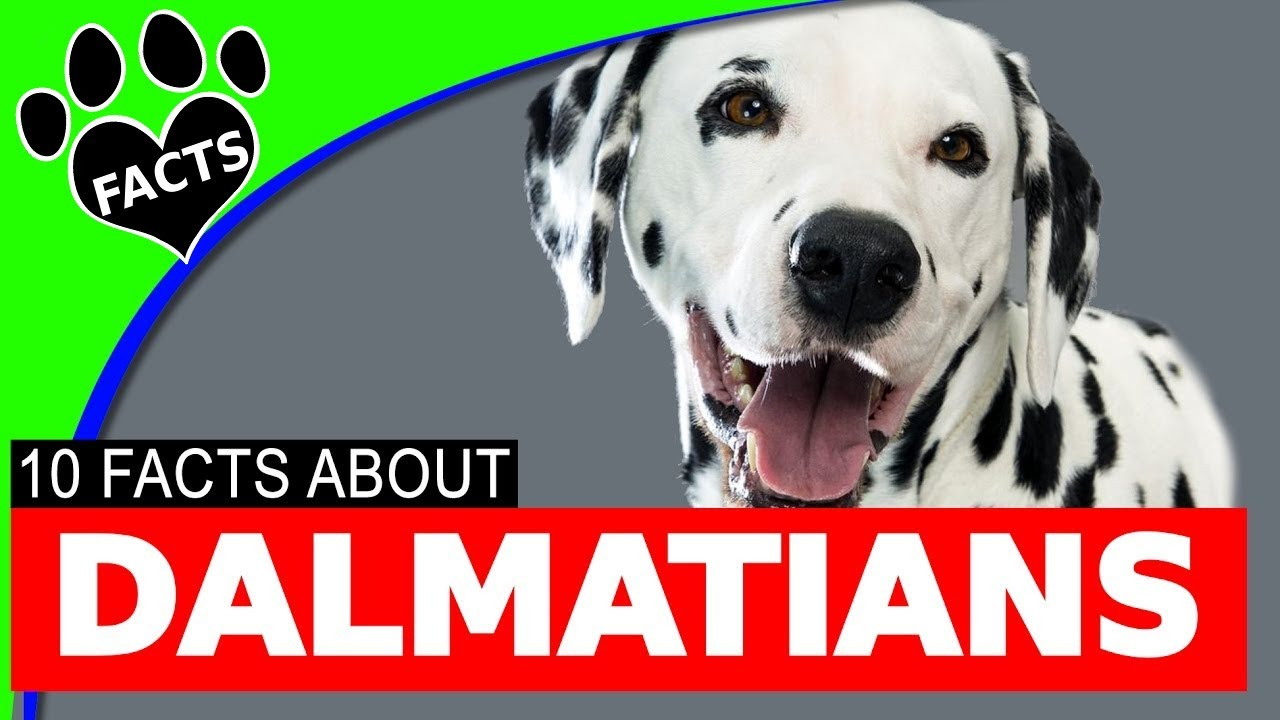 Dogs 101: Dalmatians Dog Firehouse Facts Most Popular Dog Breeds - Animal Facts