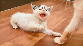 Rescued Kitten Angry & Hissing First Time Introduce to Cat, New Kitten Scared of Cat  Cats Meowing