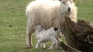 mouton ouessant en normandie