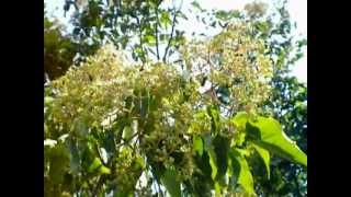 EVODIJA, pčelinje drvo, ЕВОДИЈА, pčelarstvo, пчеларство